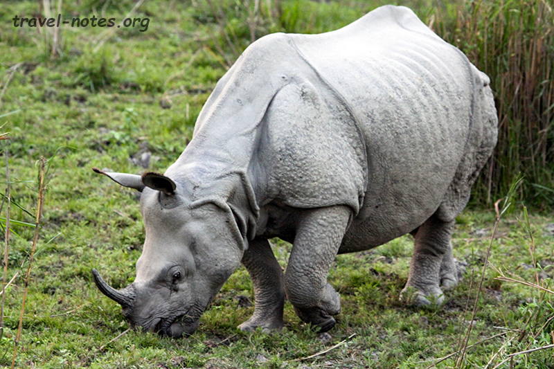 Great Indian One Horned Rhinoceros