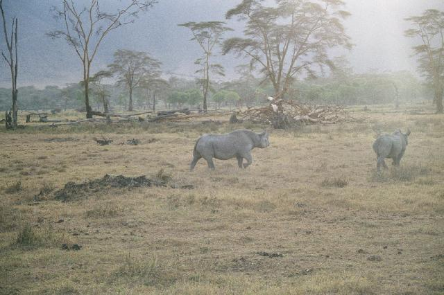 Endangered ones: The Black Rhinos